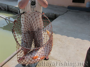 Mekong Giant Catfish In Net