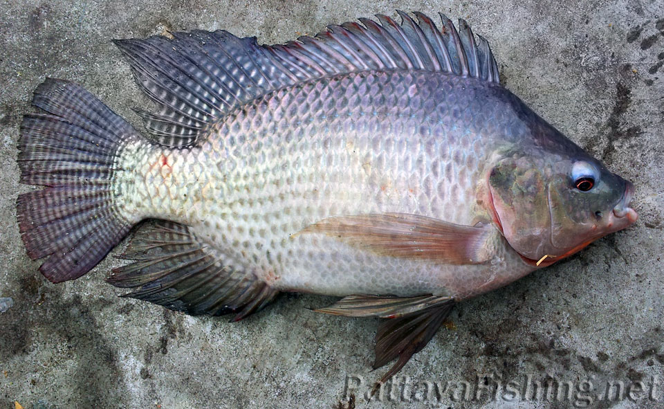 Species pattaya fishing for Tilapia not real fish