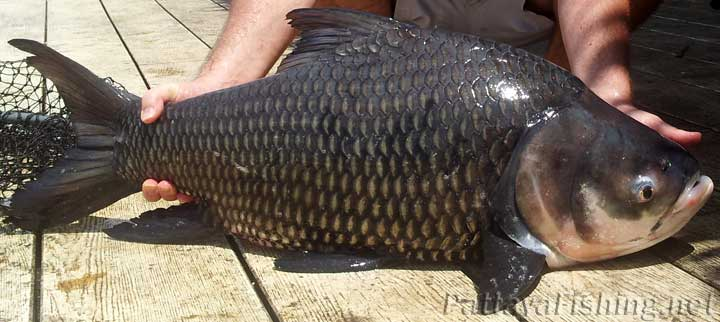 Siamese carp