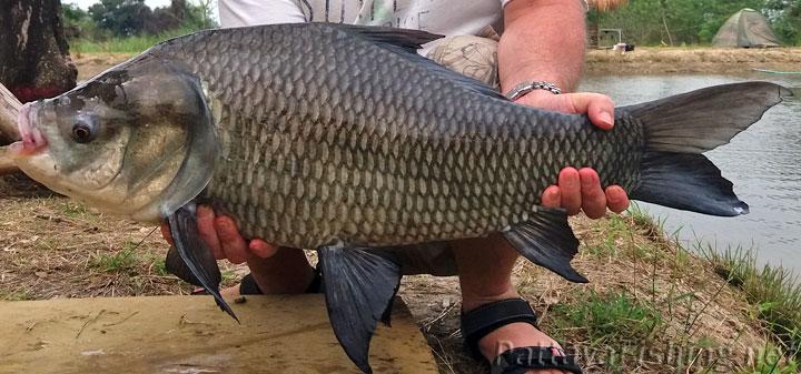 Catla carp